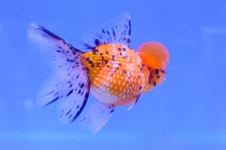 pterophyllum: The goldfish in the cabinet on blue background. Stock Photo