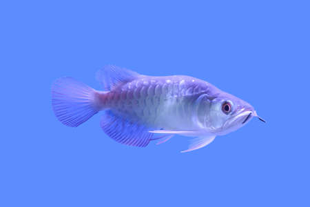 The arowana fish in the cabinet on blue background.