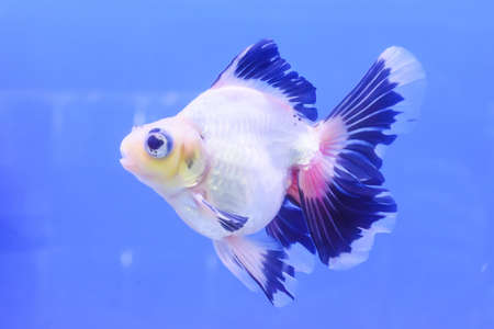 pompadour fish: The goldfish in the cabinet on blue background. Stock Photo