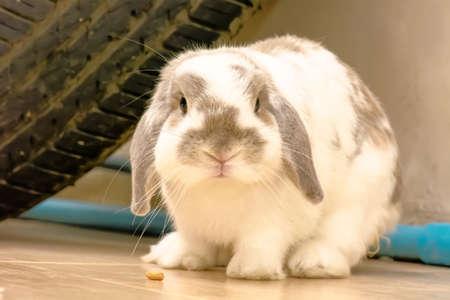 The rabbit or bunny sleep under the wheels. Stock Photo