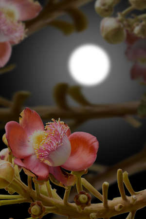 cannonball: Effects of cannonball tree at night & blur moon.