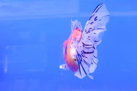 ranchu: The goldfish in the cabinet on blue background. Stock Photo