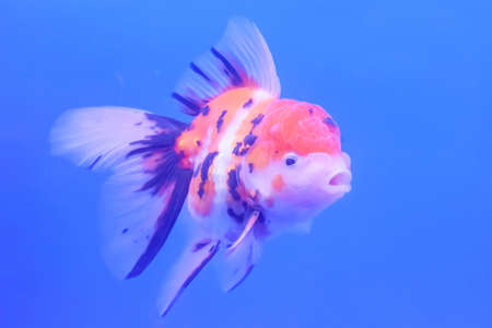 The goldfish in the cabinet on blue background. Stock Photo