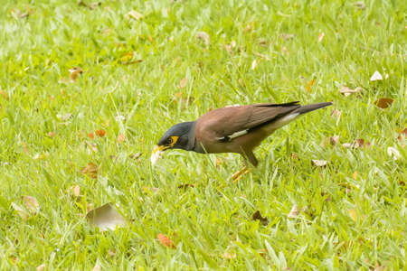 common myna bird: Myna eat the bread on the lawn in the park. Stock Photo
