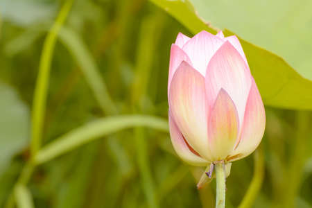 Lotus is many colors and beautiful in ponds, is a symbol of Buddhism.