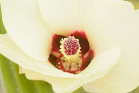 l natural: Roselle or Hibiscus sabdariffa is a species of Hibiscus native to West Africa. Stock Photo