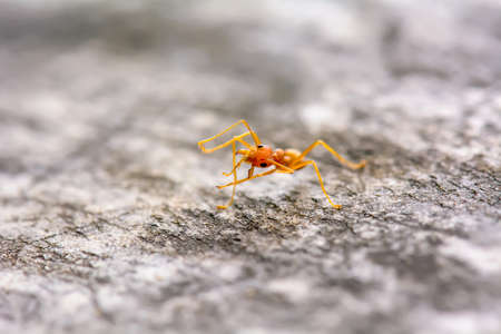 leaf cutter ant: Single red ant alone on the floor.