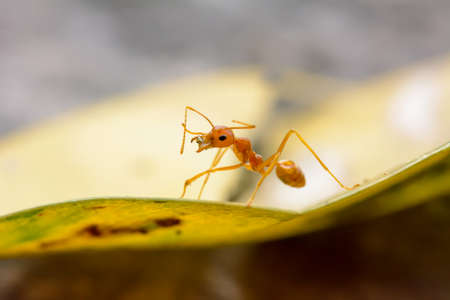Single red ant alone on the leaves.