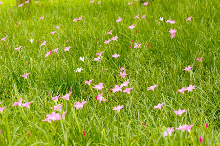 carinata: Pink zephyranthes carinata on a nature background. Stock Photo
