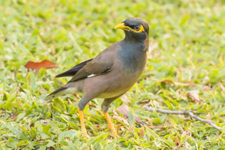 common myna bird: Myna standing on the lawn in the park. Stock Photo