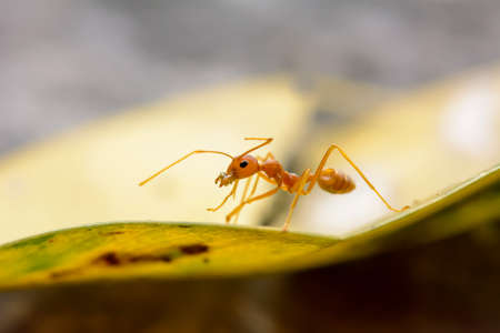 leaf cutter ant: Single red ant alone on the leaves.