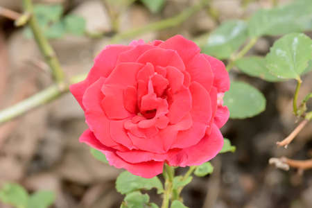 The red rose on a nature background.