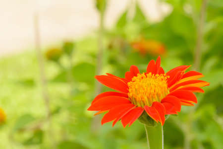 Mexican sunflower in the garden on nature background.