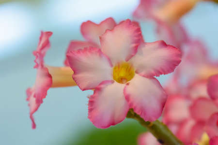 Desert Rose is a bright-colored flowers. Desert Roses are Thai Flower.
