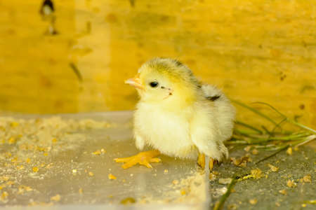 The yellow chicks, born not long ago.