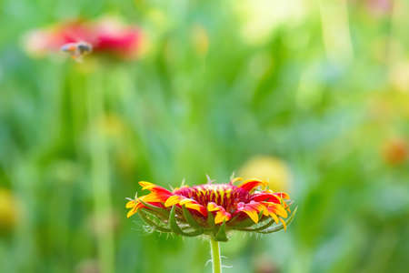 Gaillardia flowers with multiple colors and bright colors. It is a genus of flowering plants in the sunflower family. Stock Photo