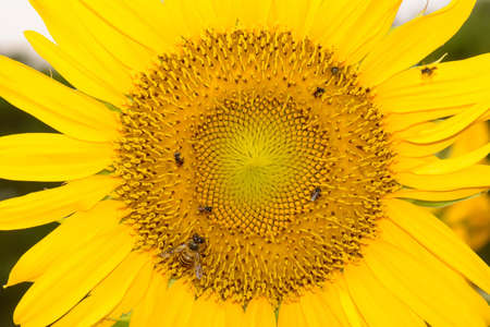 Bees eating pollen from sunflower on a nature background.