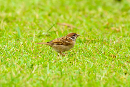 The sparrow on the lawn in the garden.