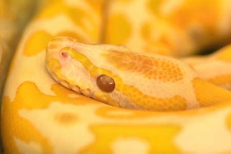 Albino burmese python is curled up. Its pet tame. Banco de Imagens