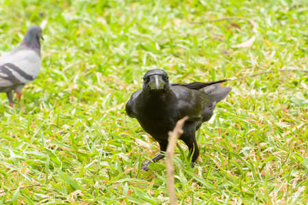 The crow on the lawn in the park. Stock Photo