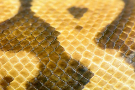 Detailed close up of a Albino burmese python.