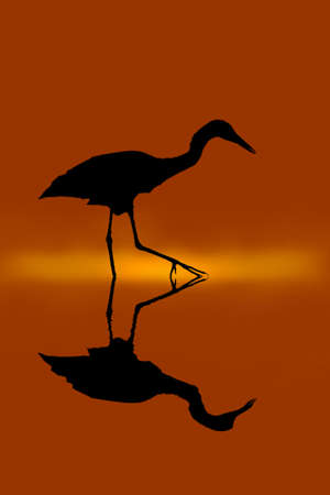 The herons walk in the swamp to find food. Banco de Imagens