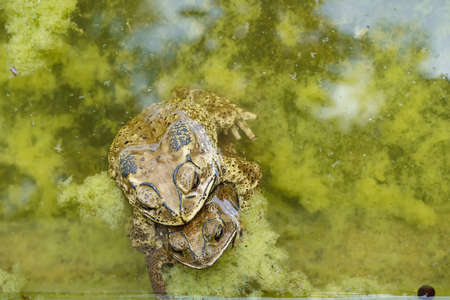 The frog are breeding in the pond in the park.