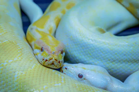 Albino burmese python is curled up. Its pet tame. Stock Photo
