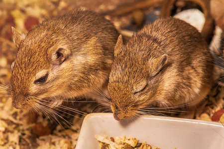 A gerbil or called desert rats is a small mammal.