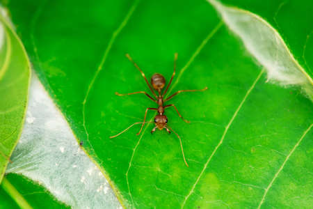 Single red ant alone on the mango leaves. Banque d'images - 109690251