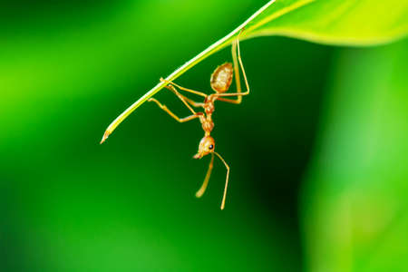 Single red ant alone on the mango leaves. Stock Photo
