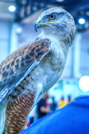 The hawk is a popular pet in Thailand.