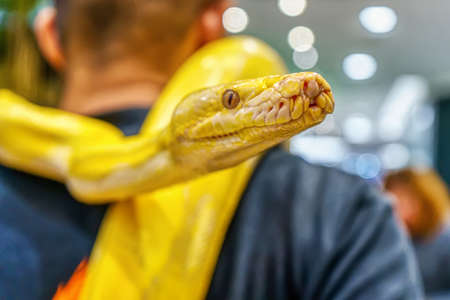 Albino burmese python wrapped around a man. Its a popular pet in Thailand. 스톡 콘텐츠