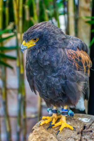 Harriss Hawk  are poses on the timber. Its a popular pet in Thailand.