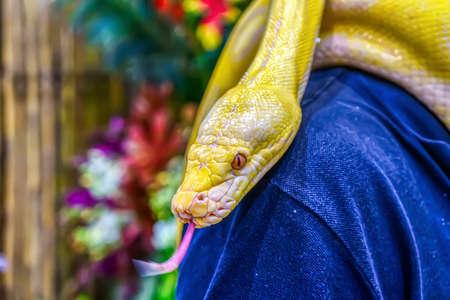 Albino burmese python wrapped around a man. Its a popular pet in Thailand. 版權商用圖片
