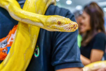 Albino burmese python wrapped around a man. Its a popular pet in Thailand. 新聞圖片