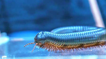Giant millipede is a popular pet in Thailand. Banco de Imagens