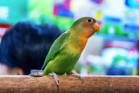Parrot perched on a branch. Bird is a popular pet in Thailand.