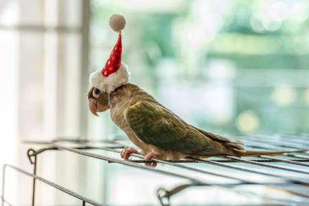 Green-cheeked parakeet or green-cheeked conure wearing Santa Cross hats. Banco de Imagens