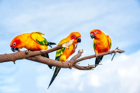 Conures perched on a branch. Bird is a popular pet in Thailand.