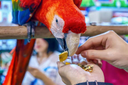 Macaw eating food in hand. Bird is a popular pet in Thailand.