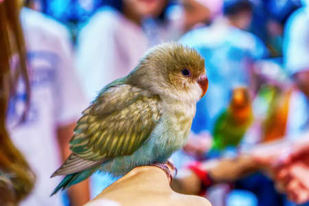 Parrot on hand. Bird is a popular pet in Thailand. Banco de Imagens