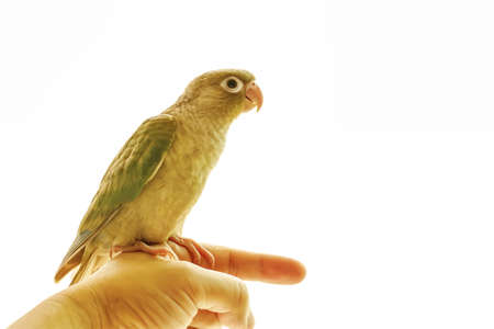 Green-cheeked parakeet or green-cheeked conure on the men's hands.