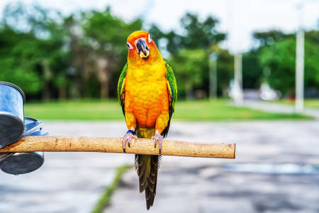 Conures perched on a branch. Bird is a popular pet in Thailand. Stock Photo - 157614196