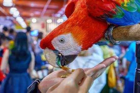 Macaw eating food in hand. Bird is a popular pet in Thailand. Banco de Imagens - 157278634