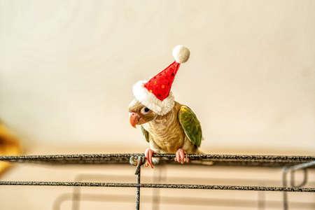 Green-cheeked parakeet or green-cheeked conure wearing Santa Cross hats. Stock Photo