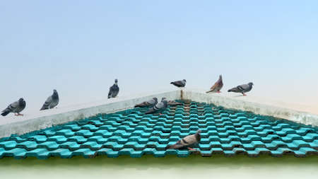 The pigeon on roof tiles in nature background.