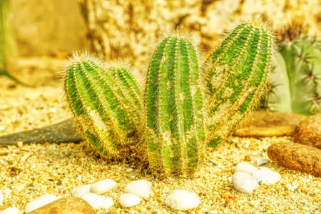 Cactus are planted on sandy soil. It is a plant that is in the desert.