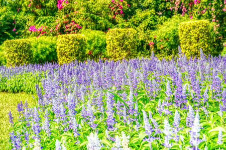 Salvia blooming at a garden in a nature background.
