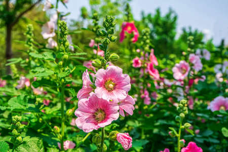Hollyhock flower is many colors and beautiful in the garden.